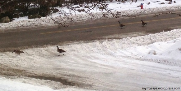 The Canada Geese Winter Marathon